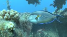 Surgeon Fish (Acanthurua Sohal)Feeding, Red Sea, Egypt