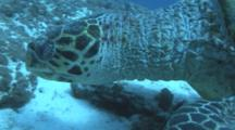 Green Turtle . Maldives, Indian Ocean.