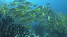 Grunts. Maldives, Indian Ocean.