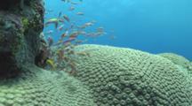 School Of Peach Anthias, Pseudanthias Dispar, On Coral. Yap Island, Pacific