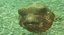 Head On View Of Pufferfish With Cleaner Shrimp