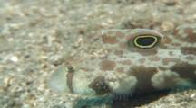 Crabeye Goby (Oplopomus Oplopomus) Displays. Edge Of Reef. Papua New Guinea