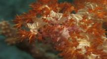 Coral Crab (Unknown Species)Hiding In Soft Corals. Reef. Milne Bay. Papua New Guinea