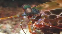 Mantis Shrimp (Unknown Species). Papua New Guinea