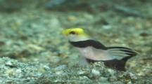 Yellownose Prawn-Goby (Stonogobiops Xanthorhinica). Displays. Papua New Guinea