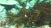 Merlet'S Scorpionfish (Rhinopias Aphanes). Reef.  Papua New Guinea