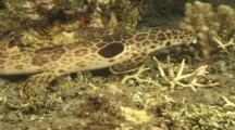 Epauletted/Cat Shark (Hemiscyllium Species) Uses Fins To