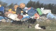 Laysan Albatross Adult And Chick In Front Of Mounds Of Rubbish. Conservation Story - Rubbish. Midway Island. Pacific