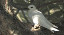 Fairy Tern Portrait