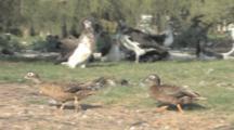 Laysan Duck/Teal (Anas Laysanensis). Pair Walking Near Laysan Albatross Colony. Endangered Species. Midway Island. Pacific