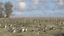 Laysan Albatross (Phoebastria Immutabilis) Colony. Midway Island. Pacific