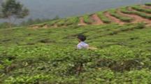 Tea Picker Walks Through Field With Basket. Yunnan Province. China
