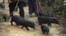 Women Herding Pigs On Path, Cu Pigs