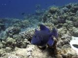 Blue Triggerfish (Pseudobalistes Fuscus). Dahab, Red Sea