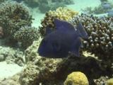Blue Triggerfish (Pseudobalistes Fuscus). Feeding. Dahab, Red Sea