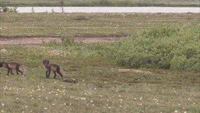 Arctic fox, (Vulpes lagopus) family in summer, Churchill, Manitoba, Canada