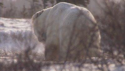 Polar bears sparring in sunshine, Churchill, Manitoba, Canada