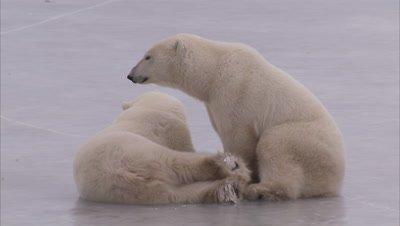 Polar bears wrestling on ice, Churchill, Manitoba, Canada