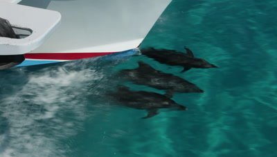 Four Atlantic Spotted Dolphins bowriding