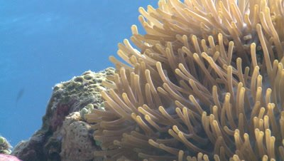 Clown anemone fish (Amphiprion ocellaris) in anemone, low angle. Defence strategy. Closer nice portrait