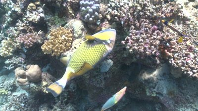Titan triggerfish (Balistoides viridescens) mid feeding on coral with other reef fish