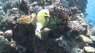 Titan triggerfish (Balistoides viridescens low angle mid feeding on coral with other reef fish - PART