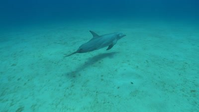 Bottlenose dolphin (Tursiops truncatus) swims., Roatan Island, Honduras