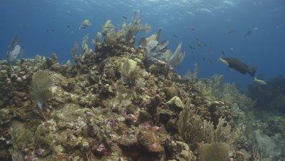 Black groupers (Mycteroperca bonaci) swim around coral mount, Roatan Island, Honduras