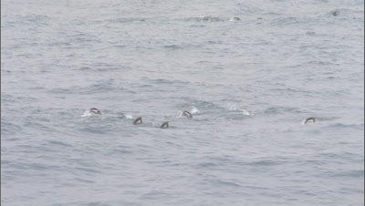 Chinstrap penguins (Pygoscelis antarctica) porpoising at sea