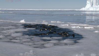 Emperor penguins (Aptenodytes forsteri) swimming and diving in hole in sea ice, Cape Washington, Antarctica