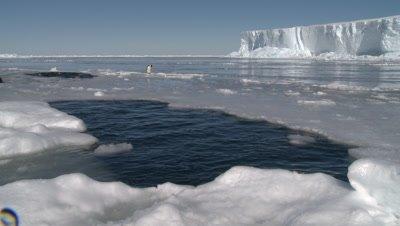 Emperor penguins (Aptenodytes forsteri) surface and splashing around in holes in sea ice, Cape Washington, Antarctica