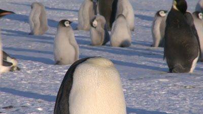 Emperor penguins (Aptenodytes forsteri), adult in colony preens, Cape Washington, Antarctica