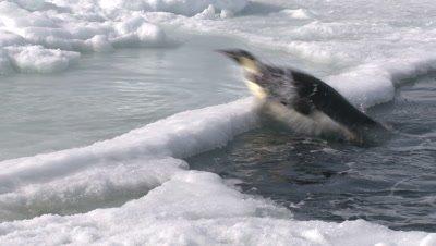Emperor penguins (Aptenodytes forsteri) exiting water, Cape Washington, Antarctica