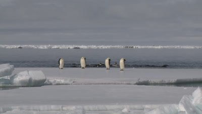 Emperor penguins (Aptenodytes forsteri) preening at edge of sea ice, some exiting water, Cape Washington, Antarctica