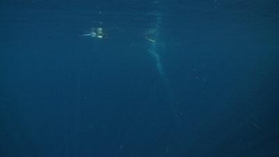Emperor penguins (Aptenodytes forsteri) swimming, underwater, Cape Washington, Antarctica