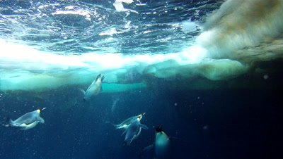 Emperor penguins (Aptenodytes forsteri) swimming at surface and exiting water with bubble trails, underwater, Cape Washington, Antarctica