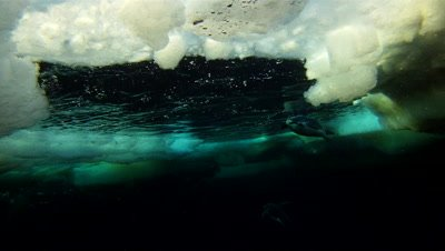 Emperor penguins (Aptenodytes forsteri) surfacing and diving in ice, underwater, Cape Washington, Antarctica
