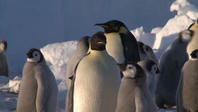 Emperor penguins (Aptenodytes forsteri), chicks and adult at colony, chick begs and is fed, Cape Washington, Antarctica