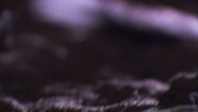 Night time lit shots of a Long Eared Jerboa, Tianjiang Desert, Xinjiang, China