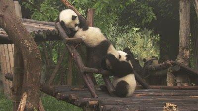 Giant Panda cubs, Chengdu Panda Base, Sichuan, China