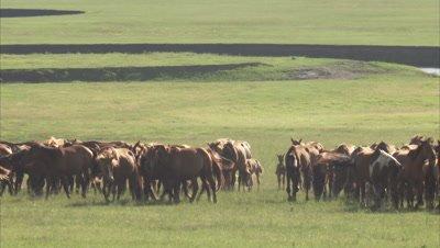 Nomadic mongolian horse herders and their animals, Inner Mongolia