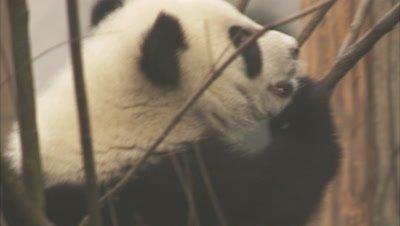 Giant Panda cub nibling saplings, Chengdu Panda Base, Sichuan, China