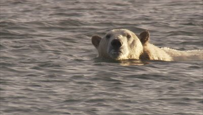Polar bear swimming, Manning Island, Nunavut, Canada