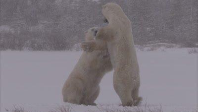 Polar bears sparring in blizzard, Churchill, Manitoba, Canada