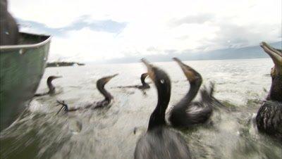Cormorant fishing, Dalai lake, Yunnan, China
