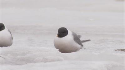 Sabin's gull feeding behavior, Manning Island, Nunavut, Canada