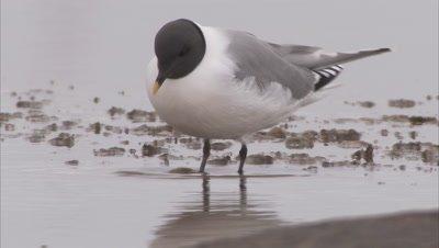 Sabine's gull feeding behavior, Manning Island, Nunavut, Canada