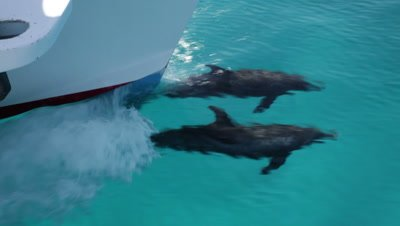 Two Atlantic Spotted Dolphins bowriding, occasional breathing and dorsal fin breaks the surface