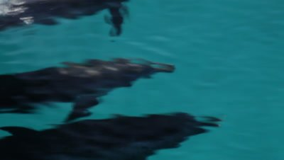Atlantic Spotted Dolphins bowriding, Bahamas