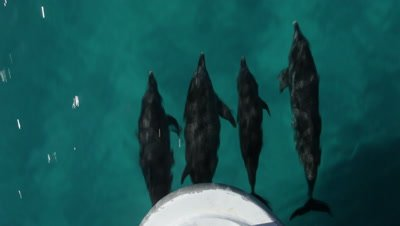 Four Atlantic Spotted Dolphins bowriding, looking vertically down at them